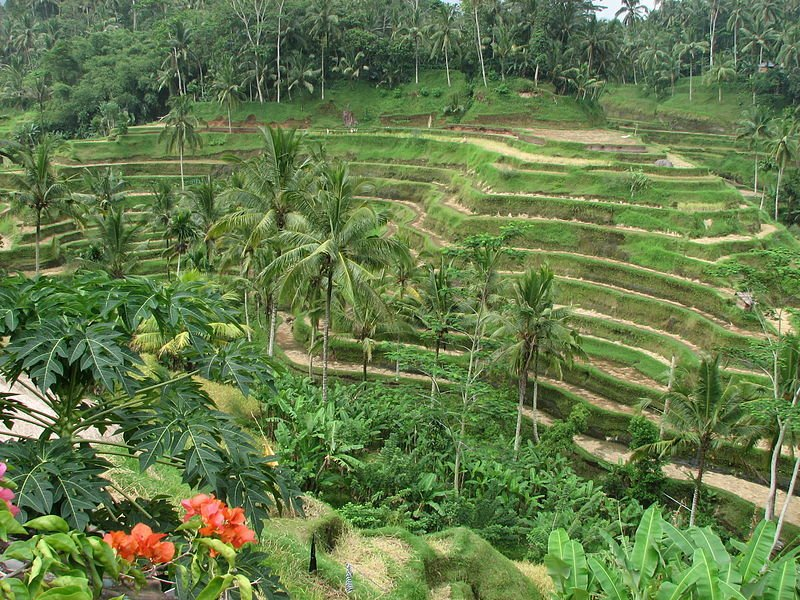 800px rice terrace in ubud