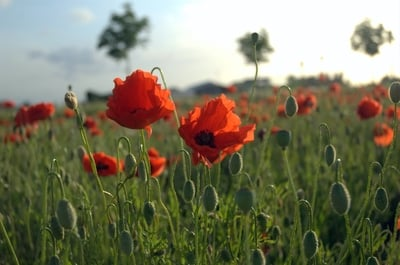Poppies are among the many flowers that grow in Flanders Fields
